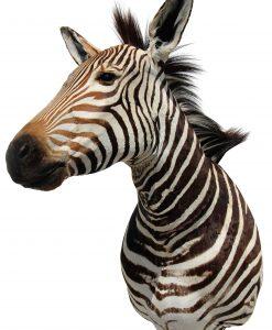 schoudermount-van-een-berg-zebra-