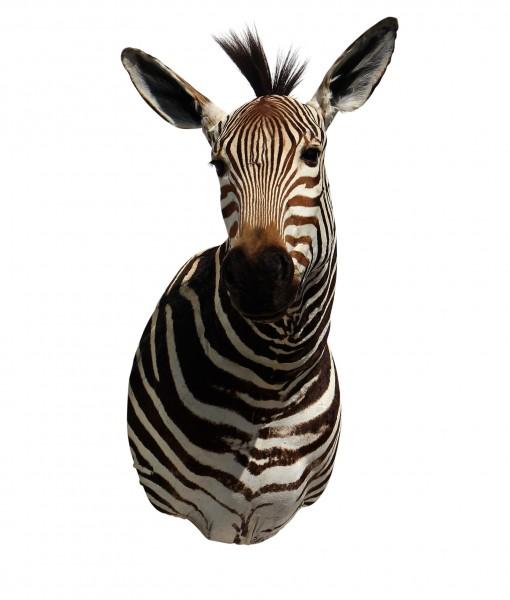 opgezette zebra