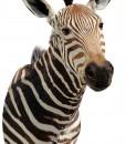 zebra_mount