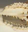 ram 154 tanden