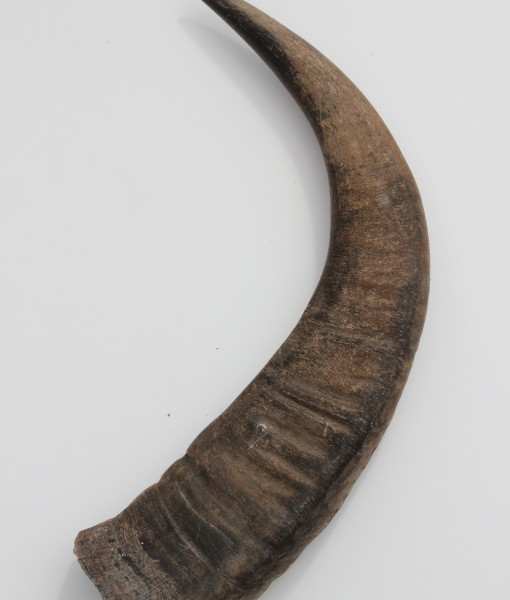 waterbuffel hoorn 112