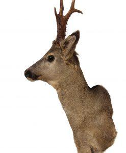 opgezet-opgezette-hertenkop-bok-ree-wildkleur-reebok--gewei-opgezet-nr-16-wanddecoratie-natuur-woondecoratie,traditioneel,jacht,jager,