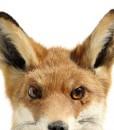 opgezette- rode- vos -vossenkop- vossenkopje -wanddecoratie -natuurlijk wonen-milheeze-noord brabant-