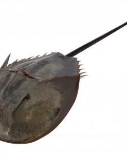 Degencrab-ook-wel-horseshoe-crab-