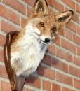 vos-little-fox-head-stuffed-taxidermy-nr-23