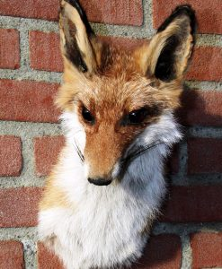 opgezette -rode- vos-taxidermy-