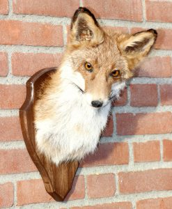 vos-opgezet-ittle-fox-head-stuffed-taxidermy-nr-23