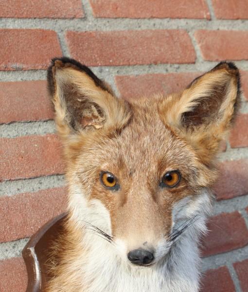 vos-opgezet-ittle-fox-head-stuffed-taxidermy-nr-23