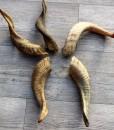 geitenbok-hoorns-ca 25 cm-