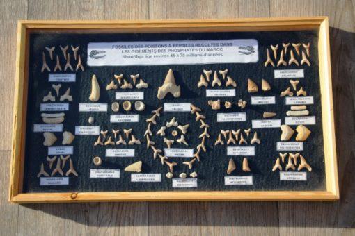 echte -fossielen van- reptielen-vissen -en -haaien- 45-70- miljoen -jaar -oud.
