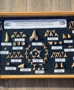 echte -fossielen van- reptielen -en -haaien- 45-70- miljoen -jaar -oud.