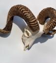 ram-schedel-schotland-schaap-nr-1-