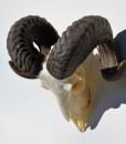 ramschedel-ouissant-schaap-wandklaar