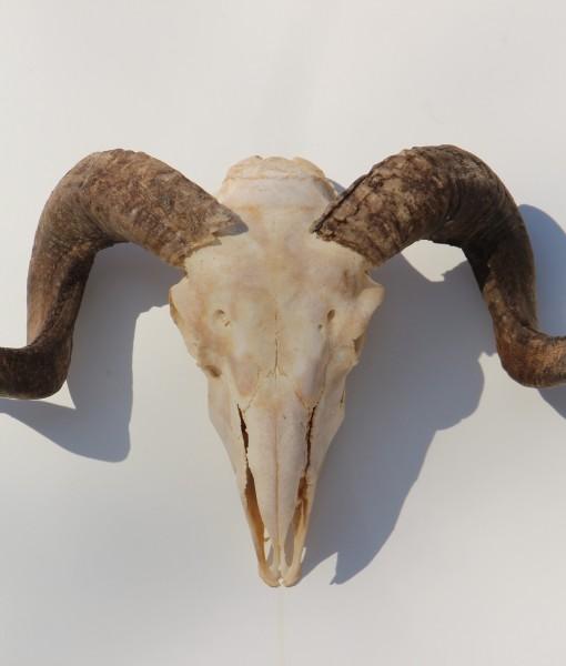 ram-bok-bokkengwei-met-schedel nr 2 (6)