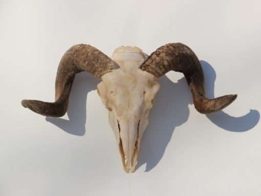 ram-bok-bokkengwei-met-schedel nr 2 (3)