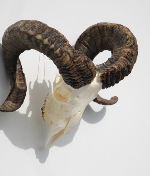 ram-gewei-skull-bok-33 (3)