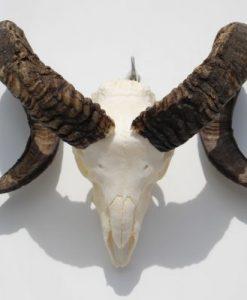 ram-gewei-skull-bok-33