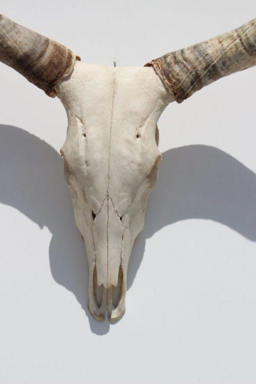 Ankole -watusi -longhorn- nr-19-import- afrika-