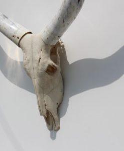 longhorn- Ankole -watusi -import- afrika-
