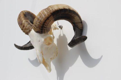 ram-bok-gewei-bokken- schedel -met- gekrulde -hoorns