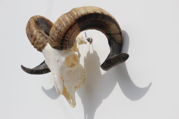 Ram bokkenschedel nr 35 het millus handelshuis for Schedel hoorns