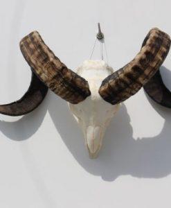 bokken-gewei-ram-schedel-nr-41