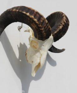 bokken-gewei-ram-schedel-nr-42