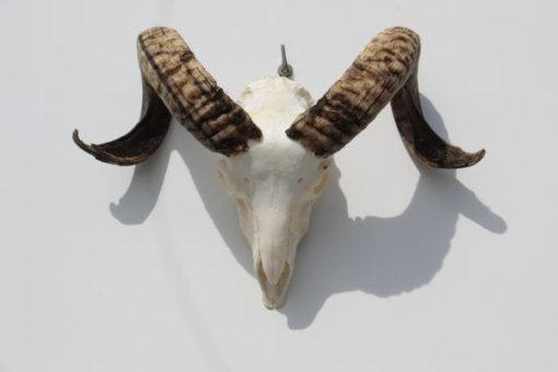 bokken-gewei-ram-schedel-nr-43