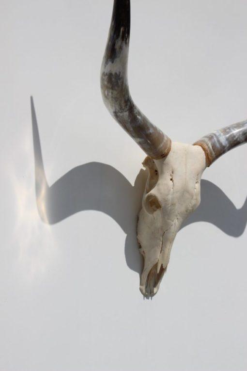 Ankole -watusi -longhorn-import- afrika-