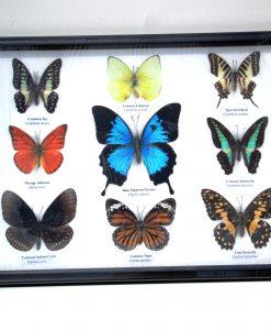 opgezette -vlinders- met -blue-- emperor.