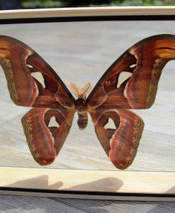 vlinder-butterflie-in dubbelglaslijst