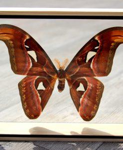 vlinder-butterfly-in dubbelglaslijst