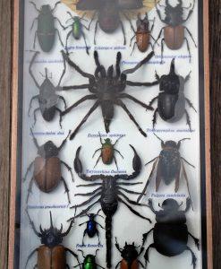insecten-opgezet-in-lijst-1