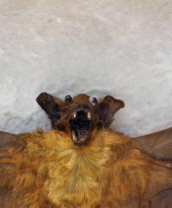 vleermuis-opgezet-bat-mounted