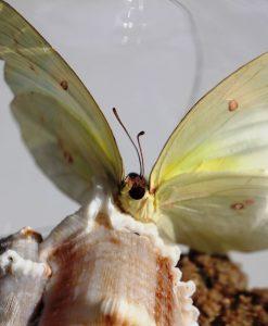 echte-vlinder-in-glazen-bol- kan- zowel -staan -als- hangen.