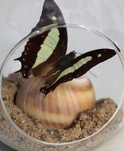 vlinder-nr-6-opgezet