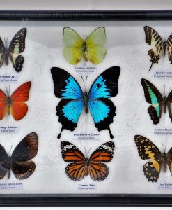 opgezette-vlinders-butterflies-in glaslijst
