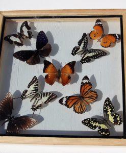 vlinder-verzameling-in-dubbelglas-lijst
