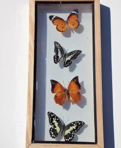 vlinder-verzameling-in dubbel-glazen-lijst