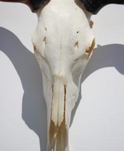 gnu-schedel-afrika-deco-