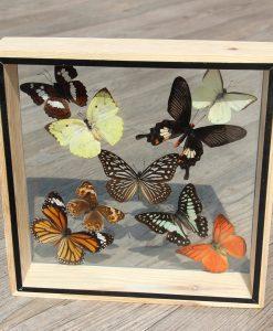 opgezette- vlinders -in -dubbelglas vitrine