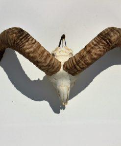 ram-schedel-bokken-gewei
