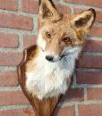 opgezet-geprepareerde-vossenkop