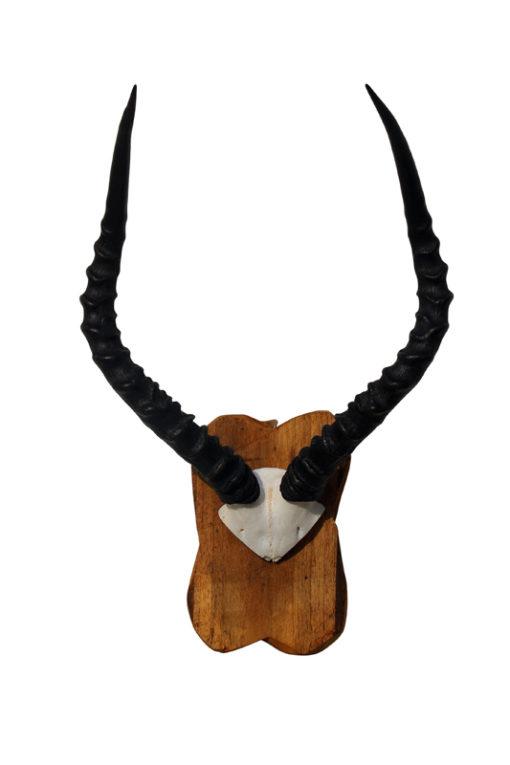 impala-gewei-zwarte-hoorns-afrika-