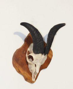 geiten-bok-gewei-wanddecoratie-ram