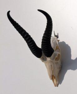 springbok-gewei-wanddecoratie-zwarte- hoorns