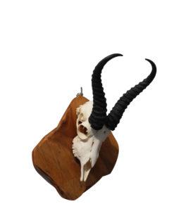 springbok-mounted-gewei-op houten schild
