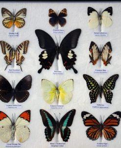 vlinder verzameling in lijst