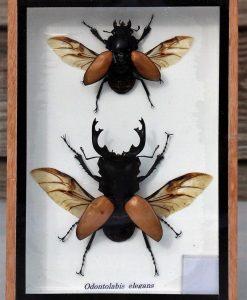 insecten-odontolabis-elegans
