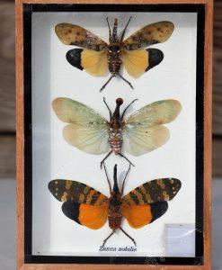 insecten-3-stuks-zanna-nobilis